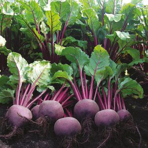 Beetroot Moulin Rouge Seeds