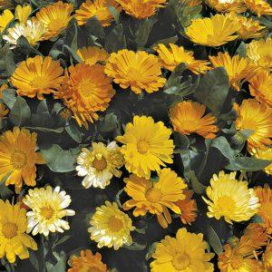 Calendula Daisy Mixed Seeds
