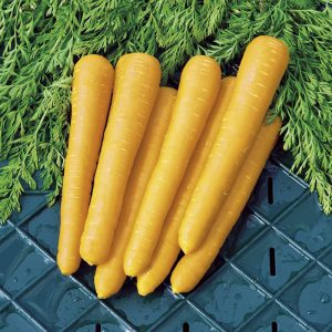 Carrot Gold Nugget F1 Seeds