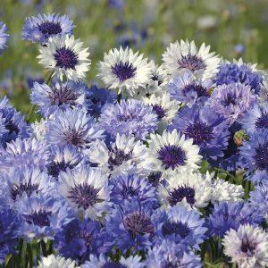 Cornflower Classic Fantastic Seeds