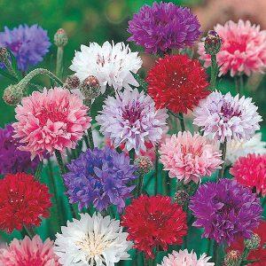 Cornflower Polka Dot Seeds