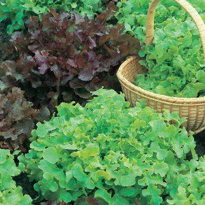 Lettuce Red & Green Salad Bowl Mix Seeds