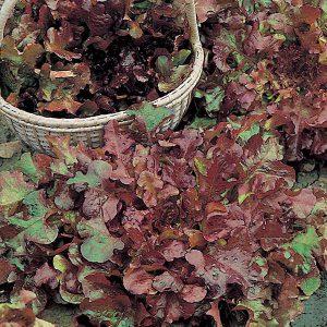 Lettuce Salad Bowl Red Seeds