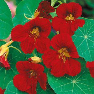 Nasturtium Tip Top Velvet Seeds